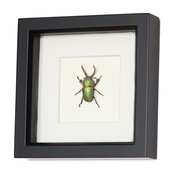 Real Stag Beetle Framed Insect