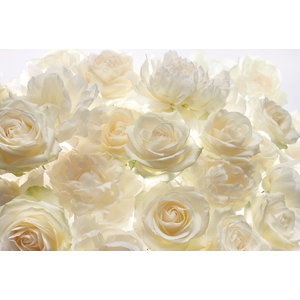 Shalimar White Roses Floral Photo Wall Mural, 368x248 cm