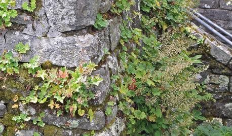 Heuchera Villosa Stands Heat and Humidity in a Shady Garden