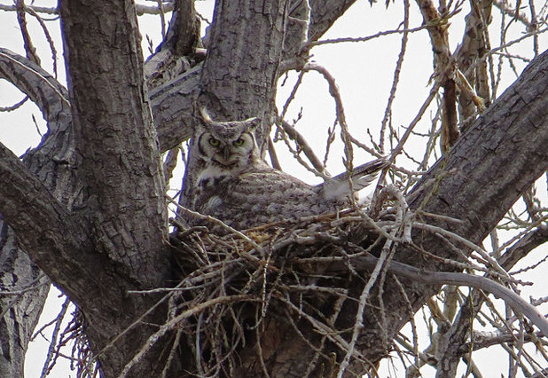 Great Horned Owl Sitting on Nest with Fearsome Look
