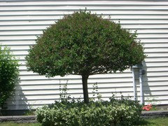 Someone In Town Has This Beautiful Small Tree It Is Not An Evergreen And A Little Bit Too But Would Otherwise Be Ideal
