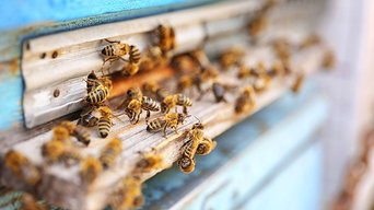 bee removal infestation in home walls las vegas