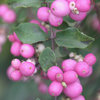 5 Berry-licious Shrubs to Plant Now for Winter Interest