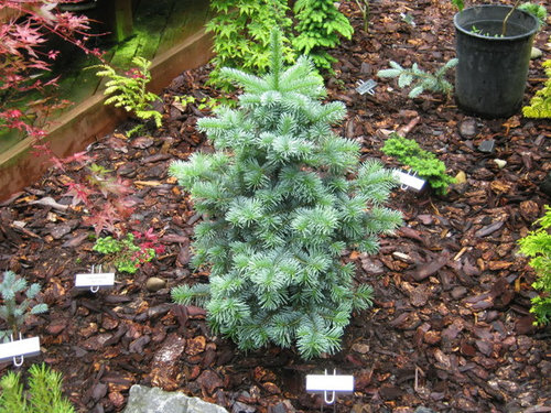 Abies Lasiocarpa And Abies Magnifigca Photo Gallery 2010