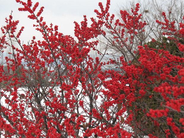 6 Rockin Red Plants for Winter Gardens – Plants for Winter Garden