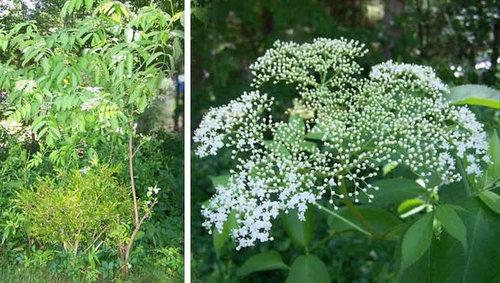 Wild tree with white flowers i cant identify image link mightylinksfo