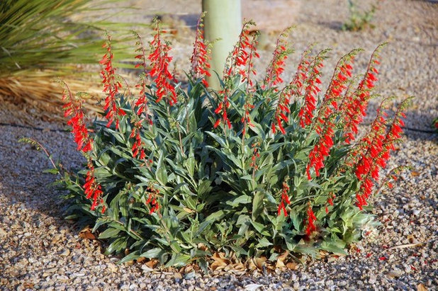 by Noelle Johnson Landscape Consulting - 10 Top Plants Native To The Desert Southwest