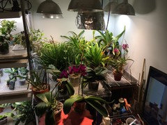 Anyone grow orchids under lights?