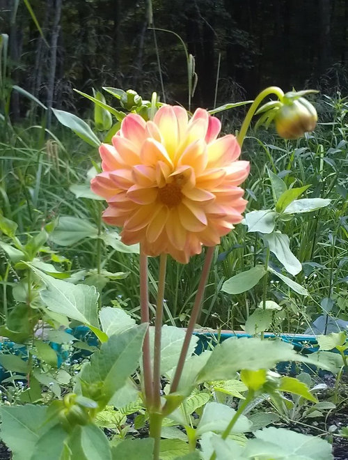 Growing Dahlias From Seed Will Post