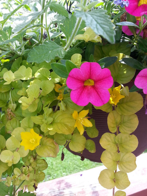 Creeping Jenny Survives Winter Freeze And Blooms Pics