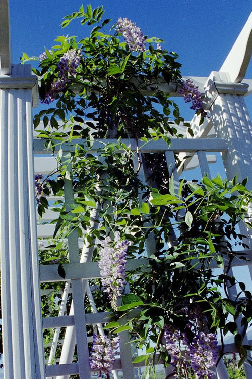 Pictures Of 3 Year Old Blue Moon Wisteria In Bloom