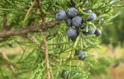Try This Unthirsty Evergreen for Fall and Winter Interest