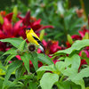 Backyard Birds: How to Care for American Goldfinches
