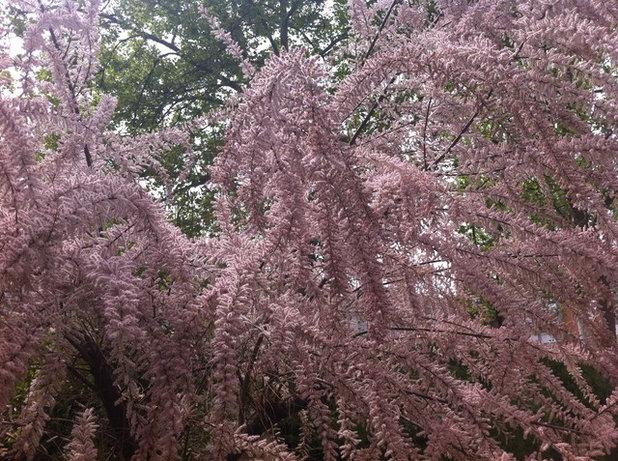 Da color al jardín con la glicinia y el tamarindo