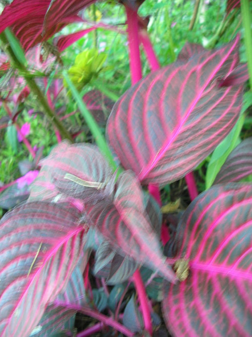 Purple Leaved Plant With Bright Pink Veins And Stems