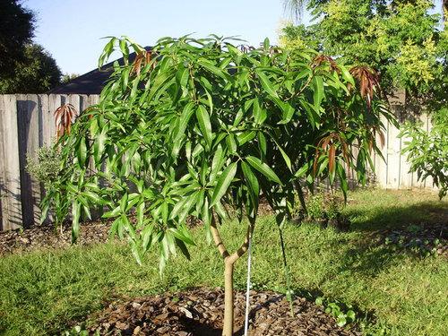 Seedling Mango Tree Success In Jacksonville Fl