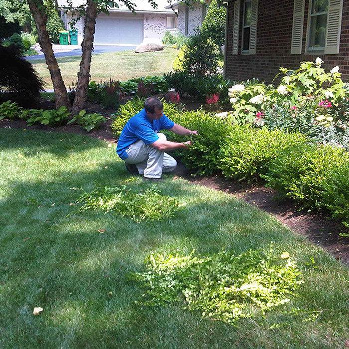 Hand Pruning Itex Helleri shrubs. Peter Atkins and Associates., LLC