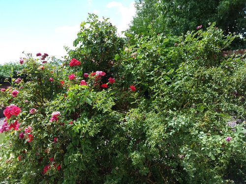 My Rose jungle is infested with Trumpet Vine