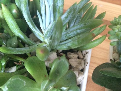 Succulent Brown White Spots