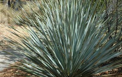 Great Design Plant: Dasylirion Wheeleri