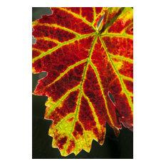 "Autumn Grape Leaf, Canvas Giclee, 8"" X 12"""