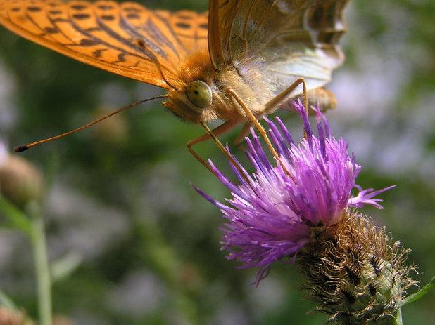 comment attirer les papillons dans votre jardin et les prot ger. Black Bedroom Furniture Sets. Home Design Ideas