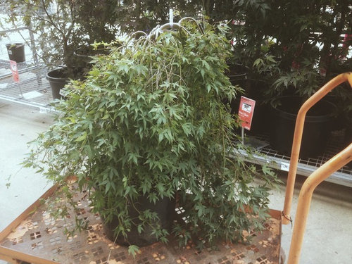 Eric S Weeping Japanese Maple
