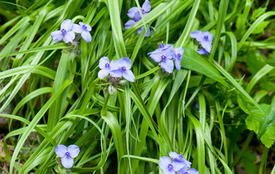 Great Design Plant: Tradescantia Ohiensis Adds Shades of Blue
