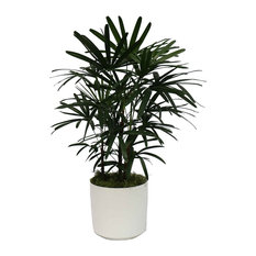Live 4' Raphis Palm Package, White