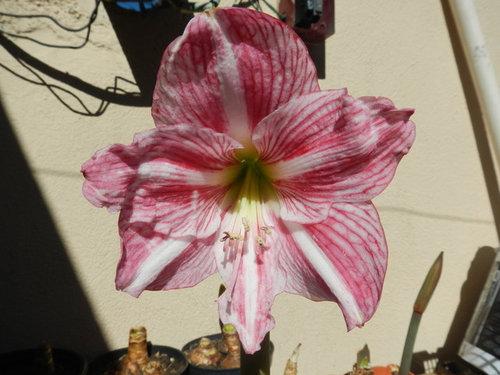 Hippeastrum Lemon Stunning 12 Mth Offset Bulb Gorgeous Flower