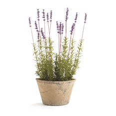 "French Lavender 21"" Potted"