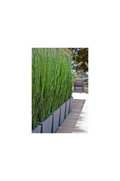 welche pflanze gr ser bambus bieten den besten. Black Bedroom Furniture Sets. Home Design Ideas