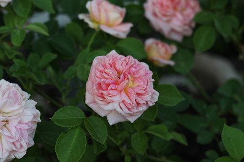 934657354682 Healthiest Rose
