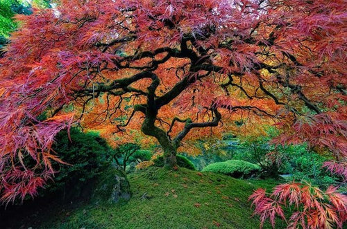How To Make A Japanese Maple Look Like This