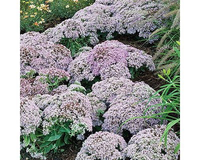 Traditional Plants by Wayside Gardens