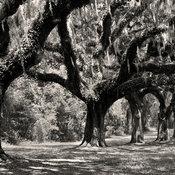 Boone Hall Plantation Oaks Charleston South Carolina Black & White Photography