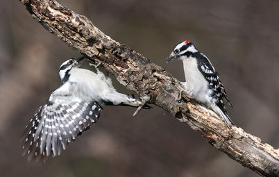 Backyard Birds: How to Identify Two Common Woodpeckers