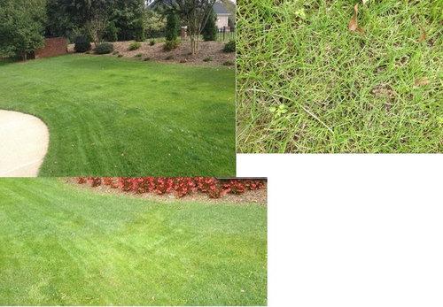 Yellowing Of New Perennial Ryegr Lawn