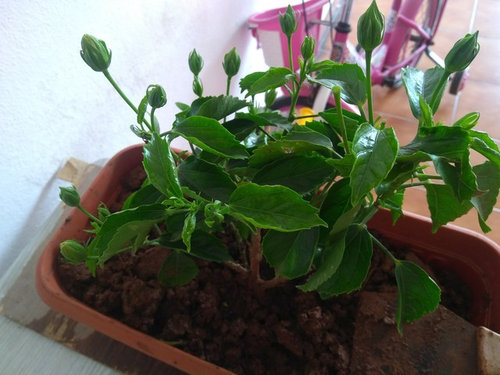 My Hibiscus Green Drooping Leaves