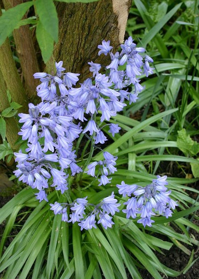 7 spring flowering bulbs to plant in autumn houzz 6 spring flowering bulbs to plant now mightylinksfo
