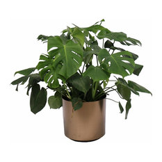 Live 3' Philodendron 'Swiss Cheese' Package, Bronze