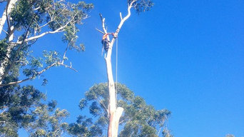 One of seven large termite damaged Blackbutts being removal.