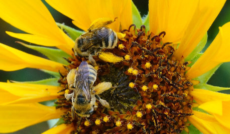 12 Entertaining 'Bee-haviors' of Native Bees