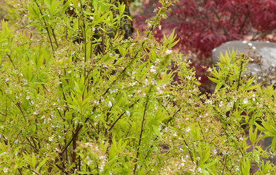 Great Design Plant: Ogon Spirea for Radiance and Texture