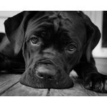 "Pi Photography Wall Art and Fine Art - Gurdy on Porch Black & White Dog Photograph Unframed Wall Art Print, 24""x36"" - Gurdy on Porch Black and White Dog Photograph - Luster Photo Paper Unframed Wall Art Print"