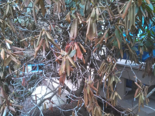 Image result for fixing winter damaged rhododendron
