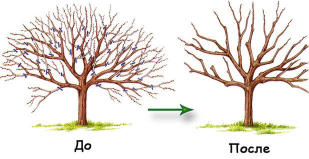 Обрезка старых деревьев на омоложение