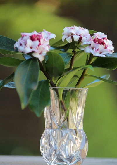 Great design plant winter daphne daphne odora mightylinksfo