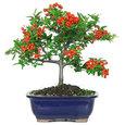 Dwarf Pyracantha Bonsai Tree