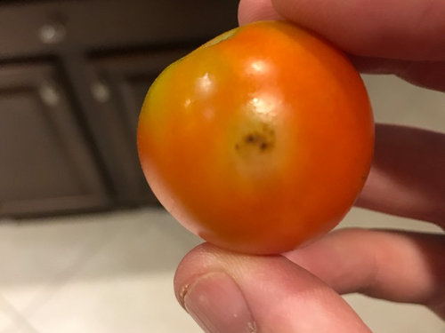 I Am Getting About 25 30 Tomatoes A Week From 4 Plants However When Picked Some Tonight There Ears To Be Brown Spots On 5 Of Them That All